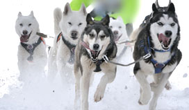 homepage_huskies